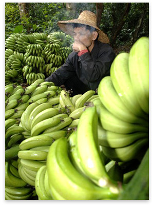 1225317074_chinesebananas.jpg