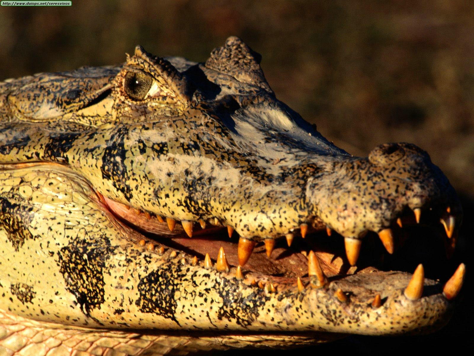1323133883_animals_reptiles_my_what_big_teeth_you_have_black_caiman.jpg